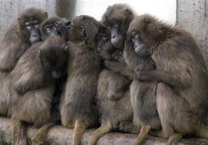 Мавпи, що цмокають, допомогли вченим знайти коріння людського мовлення