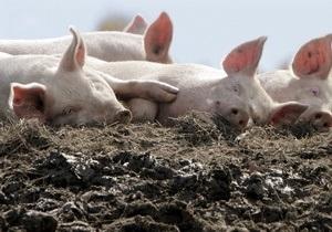 В Україні виявлено вірус африканської чуми свиней