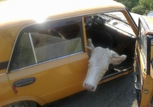 Житель Вінницької області намагався вивезти вкрадену корову в салоні Жигулів