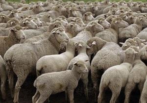 Збиватися в отару овець змушує егоїзм