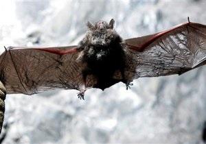 Біологи встановили, що кажани ловлять мух, прислухаючись до звуків їхнього сексу