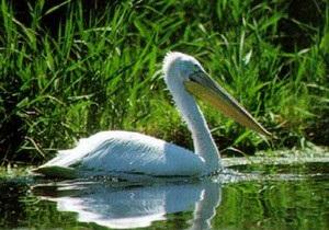 У Донецькій області за одну ніч було знищено єдину в Україні колонію кучерявих пеліканів