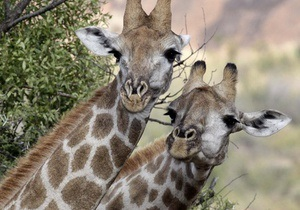 У Польщі після нічної атаки вандалів на зоопарк загинули два жирафи