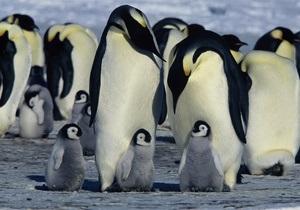 Науковці за допомогою супутника провели переоблік імператорських пінгвінів