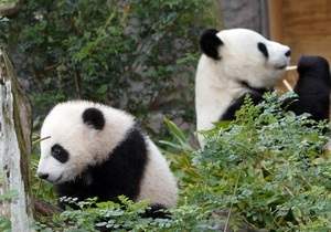 У зоопарку Единбурга пандам дадуть два дні на зачаття потомства