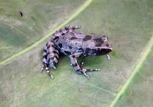 Вчені виявили зниклий 62 роки тому вид довгопалих жаб