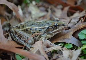 У Нью-Йорку знайшли новий вид жаб
