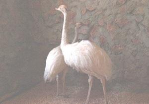 В Україну завезли унікальних страусів