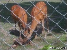 У Київському зоопарку оленя народилося на очах у людей