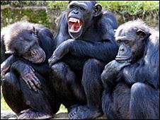 Шимпанзе спілкуються за допомогою більш ніж півсотні жестів