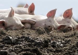 Дело: В Киевской области открыли крупнейшую в Украине свиноферму