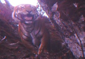 Тигри живуть високо в горах