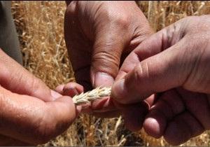 Україна поки не обмежить експорт зерна