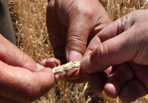 Україна: купують зерно на експорт чи ні?