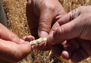 В Україні зростають ціни на зерно