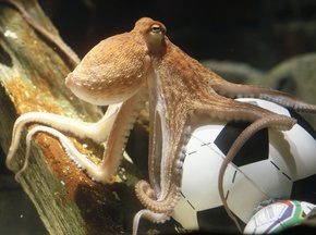 Происхождение осьминога-провидца поставили под сомнение