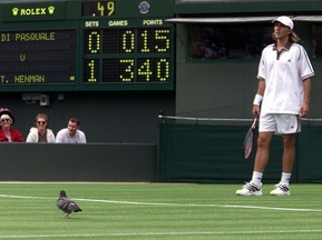 На Уимблдоне голубей трижды в неделю распугивает ястреб