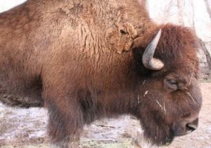 У Київському зоопарку померла самка бізона