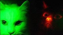 Генетики клонували флуоресцентних кішок