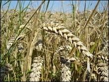 Вирощування зернових зростає, а ціни на них підвищуються