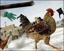 У Польщі зафіксовано черговий спалах пташиного грипу