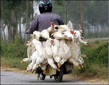Пташиний грип передається від людини до людини