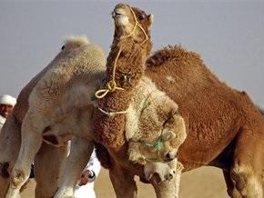 Арабские ученые впервые клонировали верблюда