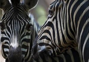Ялтинский зоопарк купил двух зебр и 40 ланей