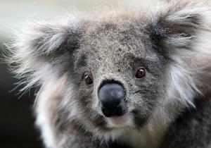 Украденную из австралийского зоопарка коалу обнаружили в мусорном баке