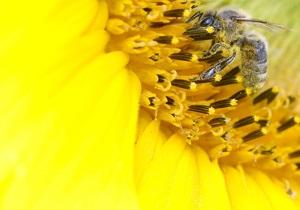 Новости науки - гибель пчел: ЕС решит судьбу пестицидов, убивающих пчел