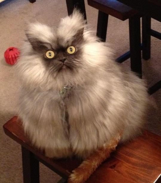 Какая порода у кота мару