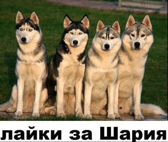 Лайки за Шария. Соцсети взорвались фотожабами на угрозу Геращенко