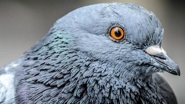 Голубів можна навчити виявляти рак