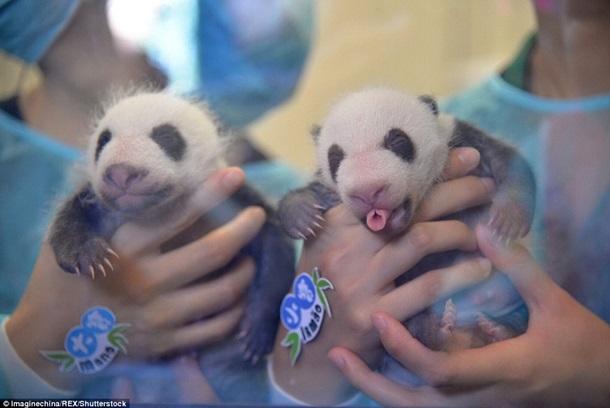 Впервые показали китайских панд-двойняшек