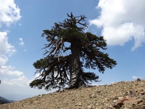 Ученые нашли вЕвропе дерево возрастом в1075 лет