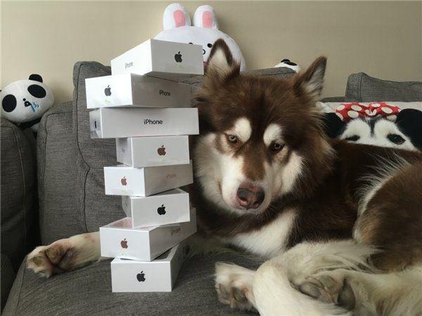 Китаец подарил собственной собаке восемь iPhone 7