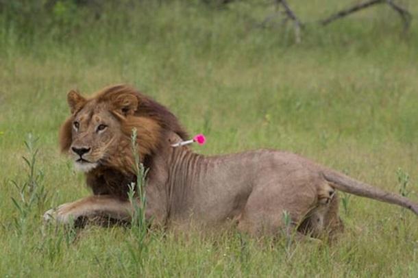 ВБотсване сразу пять львиц нетрадиционной ориентации отрастили гриву