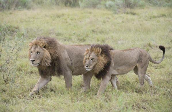 Аномальные самки счертами самцов— Львицы-андрогины