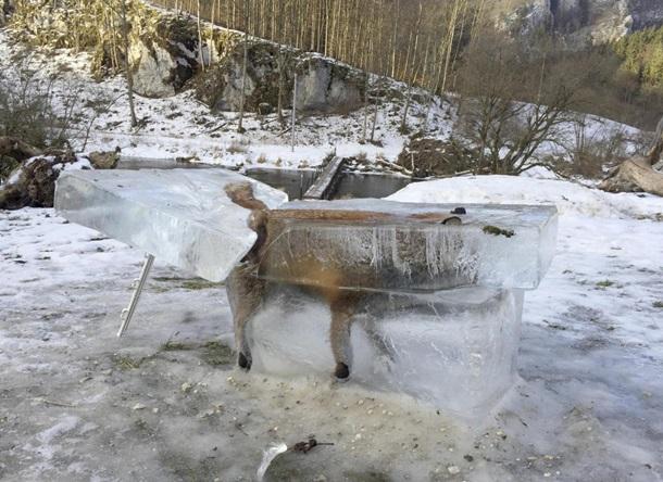 В Германии в глыбе льда на реке нашли лису