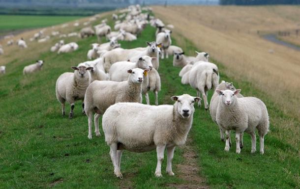 Немцы борются с бессонницей, считая овец