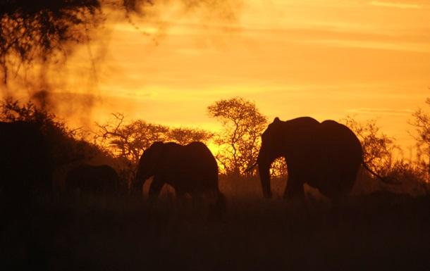 Ученые: выбраковка слонов лишает их самостоятельности