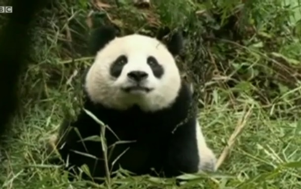 Би-би-си: Почему китайские зоологи притворяются пандами?