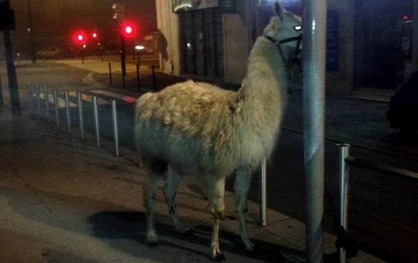 Похищенная пьяными французами из цирка лама стала звездой интернета