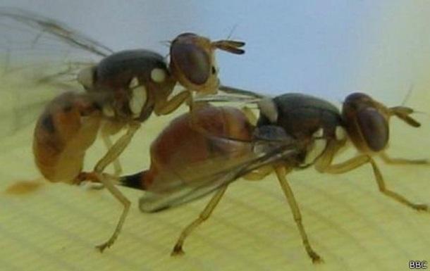 В Европе планируют опробовать генномодифицированных мух