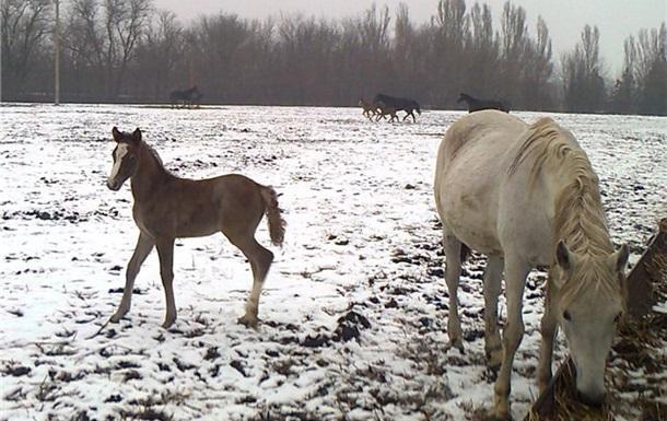 Лошади на Украине на грани вымирания
