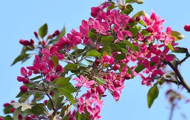 Любование цветением сакуры - в Киевском парке Киото.
