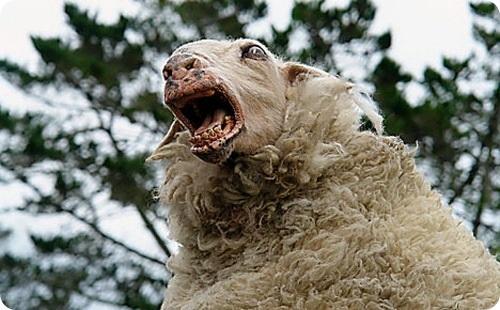 Дело овечье. Аллегорически об обыденном