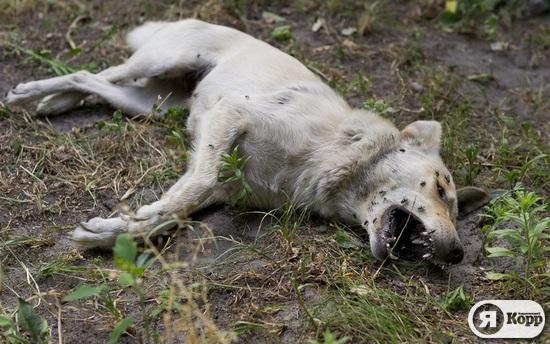 Масове вбивство стерилізованих собак у Дніпровському районі столиці