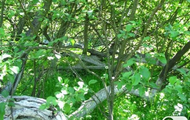 Одно из чудес Украины - яблоня-колония в Кролевце Сумской области