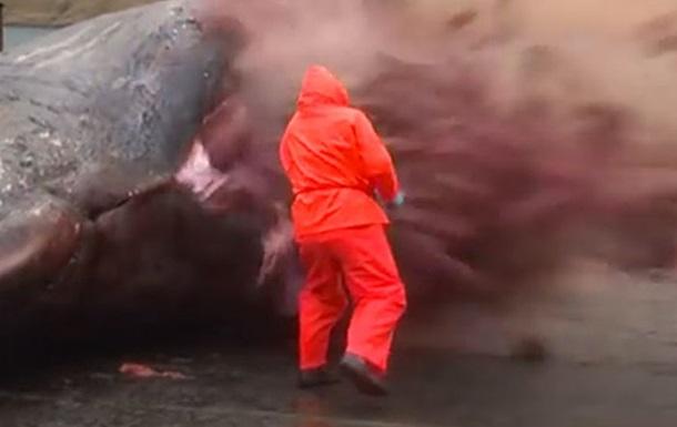 На Фарерских островах взорвался мертвый кит